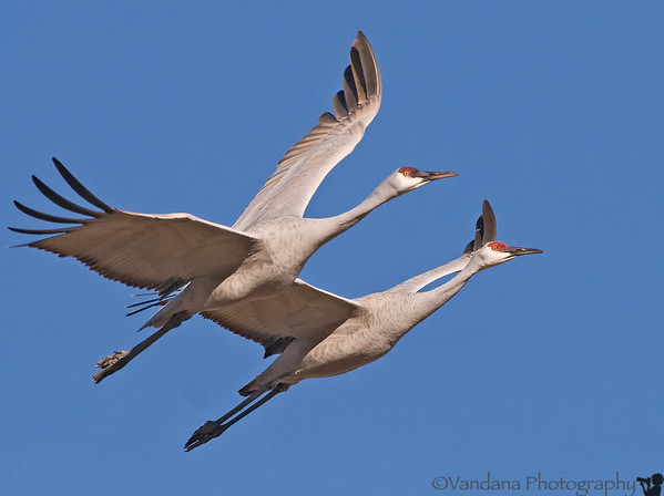 December 25, 2008 - The cranes are flying again !  At Bosque del apache national wildlife refuge. There are 20,000 snow geese and 6700+ sandhill cranes here this week.